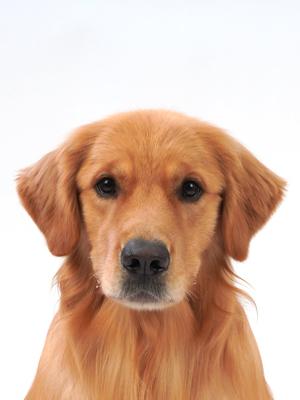 エムドッグス,動物プロダクション,ペットモデル,ペットタレント,モデル犬,タレント犬,ゴールデンレトリーバー,サン