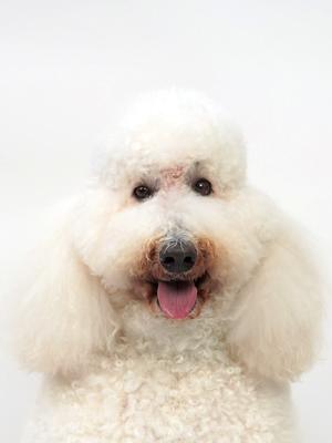 エムドッグス,動物プロダクション,ペットモデル,ペットタレント,モデル犬,タレント犬,スタンダードプードル,ムーミン