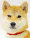 エムドッグス,動物プロダクション,ペットモデル,ペットタレント,モデル犬,タレント犬,柴犬,小春