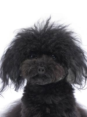 エムドッグス,動物プロダクション,ペットモデル,ペットタレント,モデル犬,タレント犬,トイプードル,真次桃子(まつぐももこ)