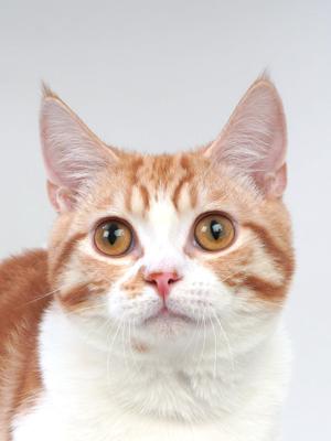 エムドッグス,動物プロダクション,ペットモデル,ペットタレント,モデル猫,タレント猫,マンチカン,桃音(ももと)