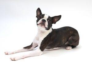 エムドッグス,動物プロダクション,ペットモデル,ペットタレント,モデル犬,タレント犬,ボストンテリア,ハッピー