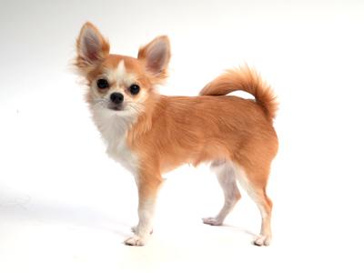 エムドッグス,動物プロダクション,ペットモデル,ペットタレント,モデル犬,タレント犬,チワワ,チロ