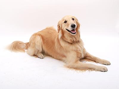 エムドッグス,動物プロダクション,ペットモデル,モデル犬,ゴールデンレトリバー,もおか