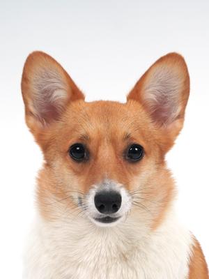 エムドッグス,動物プロダクション,ペットモデル,モデル犬,タレント犬,ウェルシュコーギー,プク