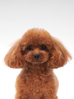 エムドッグス,動物プロダクション,ペットモデル,モデル犬,タレント犬,トイプードル,キャンディ