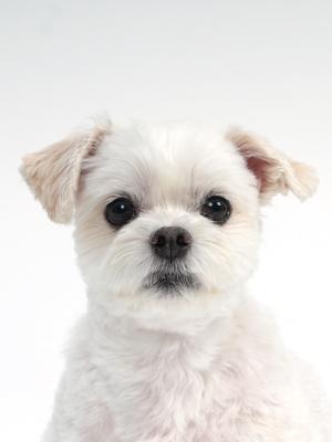 エムドッグス,動物プロダクション,ペットモデル,モデル犬,タレント犬,マルチーズ,バニラ