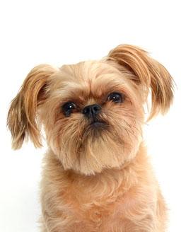 エムドッグス,動物プロダクション,ペットモデル,モデル犬,タレント犬,ブリュッセルグリフォン,ギズモ