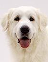 エムドッグス,動物プロダクション,ペットモデル,モデル犬,タレント犬,グレートピレニーズ,純