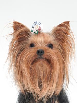 エムドッグス,動物プロダクション,ペットモデル,ペットタレント,モデル犬,タレント犬,ヨークシャーテリア,クッキー