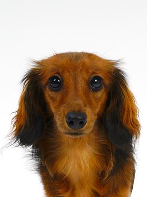 エムドッグス,動物プロダクション,ペットモデル,ペットタレント,モデル犬,タレント犬,ミニチュアダックスフンド