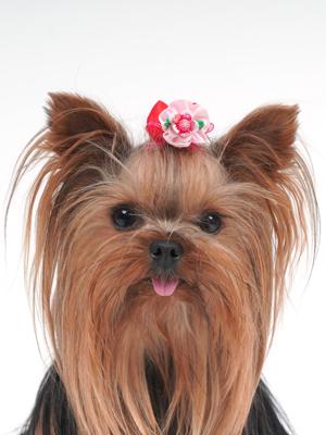 エムドッグス,動物プロダクション,ペットモデル,ペットタレント,モデル犬,タレント犬,ヨークシャーテリア,ハッピー