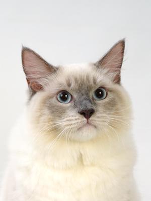 エムドッグス,動物プロダクション,ペットモデル,ペットタレント,モデル猫,タレント猫,ラグドール,シエル