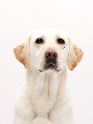 エムドッグス,動物プロダクション,ペットモデル,モデル犬,ラブラドールレトリバー,詩音