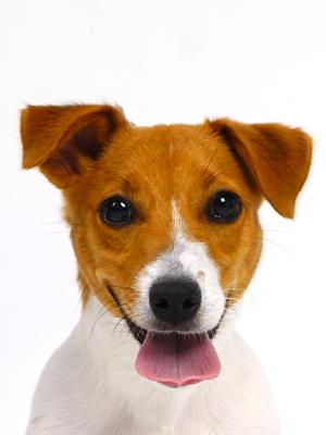 エムドッグス,動物プロダクション,ペットモデル,ペットタレント,モデル犬,タレント犬,ジャックラッセルテリア,ジョージ