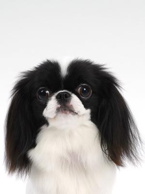 エムドッグス,動物プロダクション,ペットモデル,ペットタレント,モデル犬,タレント犬,狆,小豆