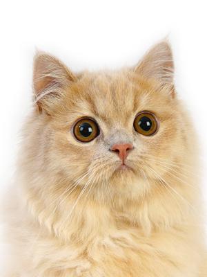 エムドッグス,動物プロダクション,ペットモデル,ペットタレント,モデル猫,タレント猫,ミヌエット,バロン