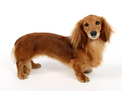 エムドッグス,ペットモデル,動物プロダクション,モデル犬,ミニチュアダックスフンド,オルテンシア