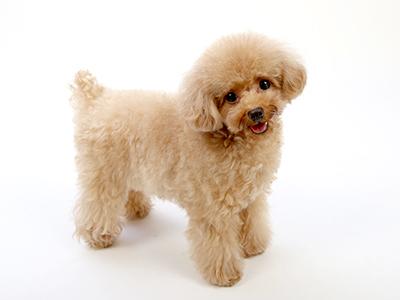 エムドッグス,ペットモデル,動物プロダクション,モデル犬,トイプードル,ぴの