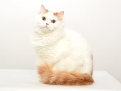 エムドッグス,ペットモデル,動物プロダクション,タレント猫,マンチカン,まっちー