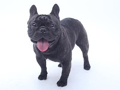 エムドッグス,ペットモデル,動物プロダクション,モデル犬,フレンチブルドッグ,James,ジェームズ