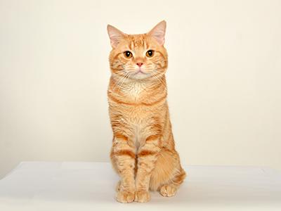 エムドッグス,動物プロダクション,ペットモデル,タレント猫,モデル猫,アメリカンショートヘア,オレンジ