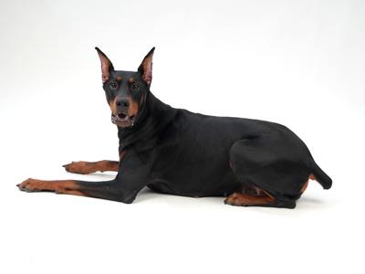 エムドッグス,動物プロダクション,ペットモデル,モデル犬,タレント犬,ドーベルマン,リンデ