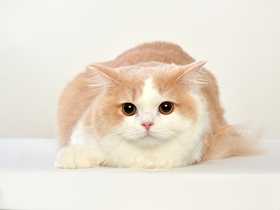 エムドッグス,ペットモデル,動物プロダクション,タレント猫,ラガマフィン,みる