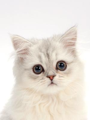エムドッグス,動物プロダクション,ペットモデル,ペットタレント,モデル猫,タレント猫,ペルシャ,Melty(メルティ)