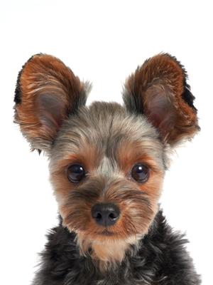 エムドッグス,動物プロダクション,ペットモデル,ペットタレント,モデル犬,タレント犬,ヨークシャーテリア,おまめ