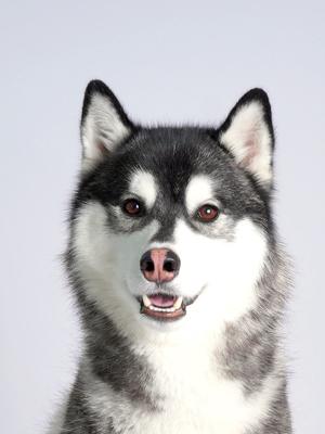 エムドッグス,動物プロダクション,ペットモデル,ペットタレント,モデル犬,タレント犬,シベリアンハスキー,エルフィ