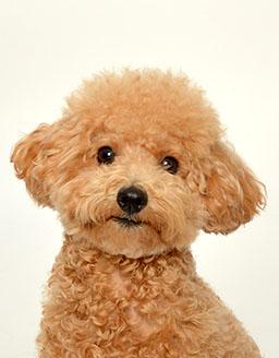 エムドッグス,動物プロダクション,ペットモデル,ペットタレント,モデル犬,タレント犬,トイプードル,チップ