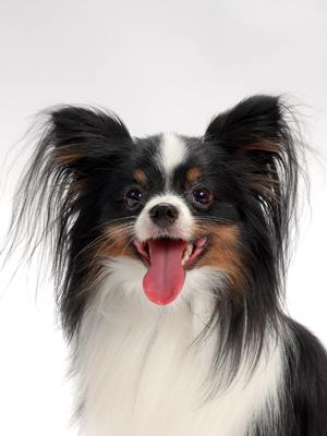 エムドッグス,動物プロダクション,ペットモデル,ペットタレント,モデル犬,タレント犬,パピヨン,王子