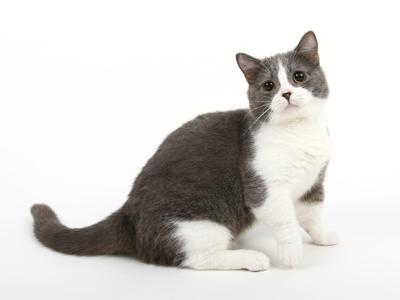 エムドッグス,動物プロダクション,ペットモデル,ペットタレント,モデル猫,タレント猫,スコティッシュフォールド,たわし