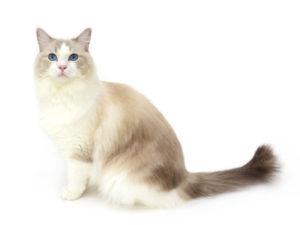 エムドッグス,動物プロダクション,ペットモデル,ペットタレント,モデル猫,タレント猫,ラグドール,ピケ