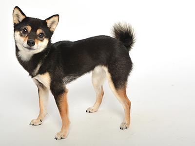 エムドッグス,動物プロダクション,ペットモデル,ペットタレント,モデル犬,タレント犬,柴犬,てつこ