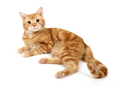 エムドッグス,動物プロダクション,ペットモデル,ペットタレント,モデル猫,タレント猫,アメリカンショートヘア,オレンジ