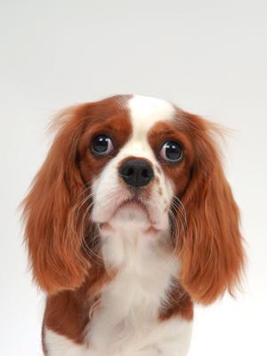 エムドッグス,動物プロダクション,ペットモデル,ペットタレント,モデル犬,タレント犬,キャバリアキングチャールズスパニエル,ちくわ