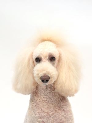 エムドッグス,動物プロダクション,ペットモデル,ペットタレント,モデル犬,タレント犬,スタンダードプードル,キキ