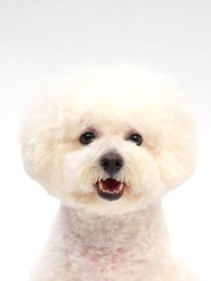 エムドッグス,動物プロダクション,ペットモデル,ペットタレント,モデル犬,タレント犬,ビションフリーゼ,レオ