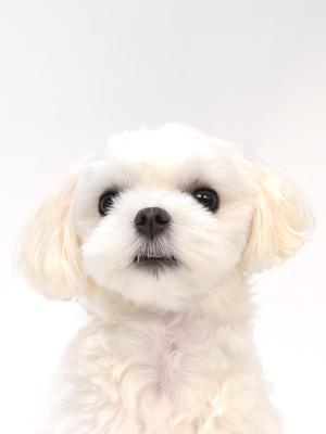 エムドッグス,動物プロダクション,ペットモデル,ペットタレント,モデル犬,タレント犬,マルチーズ,小梅