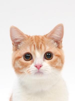 エムドッグス,動物プロダクション,ペットモデル,ペットタレント,モデル猫,タレント猫,マンチカン,ルナ