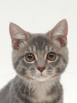 エムドッグス,動物プロダクション,ペットモデル,ペットタレント,モデル猫,タレント猫,MIX,こてつ