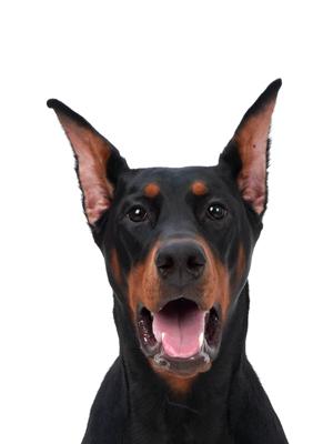 エムドッグス,動物プロダクション,ペットモデル,ペットタレント,モデル犬,タレント犬,ドーベルマン,リンデ