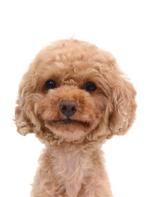 エムドッグス,動物プロダクション,ペットモデル,ペットタレント,モデル犬,タレント犬,トイプードル,アレックス