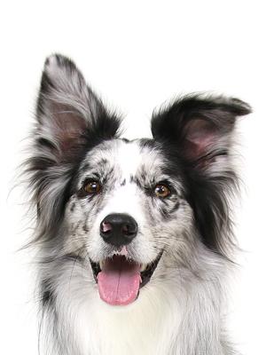 エムドッグス,動物プロダクション,ペットモデル,ペットタレント,モデル犬,タレント犬,ボーダーコリー,スピカ