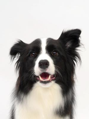 エムドッグス,動物プロダクション,ペットモデル,ペットタレント,モデル犬,タレント犬,ボーダーコリー,ホップ