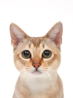 エムドッグス,動物プロダクション,ペットモデル,ペットタレント,モデル猫,タレント猫,シンガプーラ,weさん(ういさん)