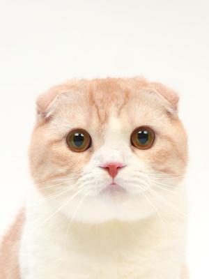 エムドッグス,動物プロダクション,ペットモデル,ペットタレント,モデル猫,タレント猫,スコティッシュフォールド,しらたま