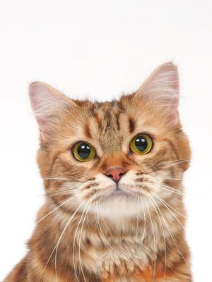 エムドッグス,動物プロダクション,ペットモデル,ペットタレント,モデル猫,タレント猫,ミヌエット,ラビアタ